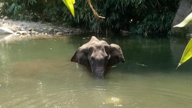 Pregnant Elephant Dies After Fed A Pineapple Stuffed With Explosives
