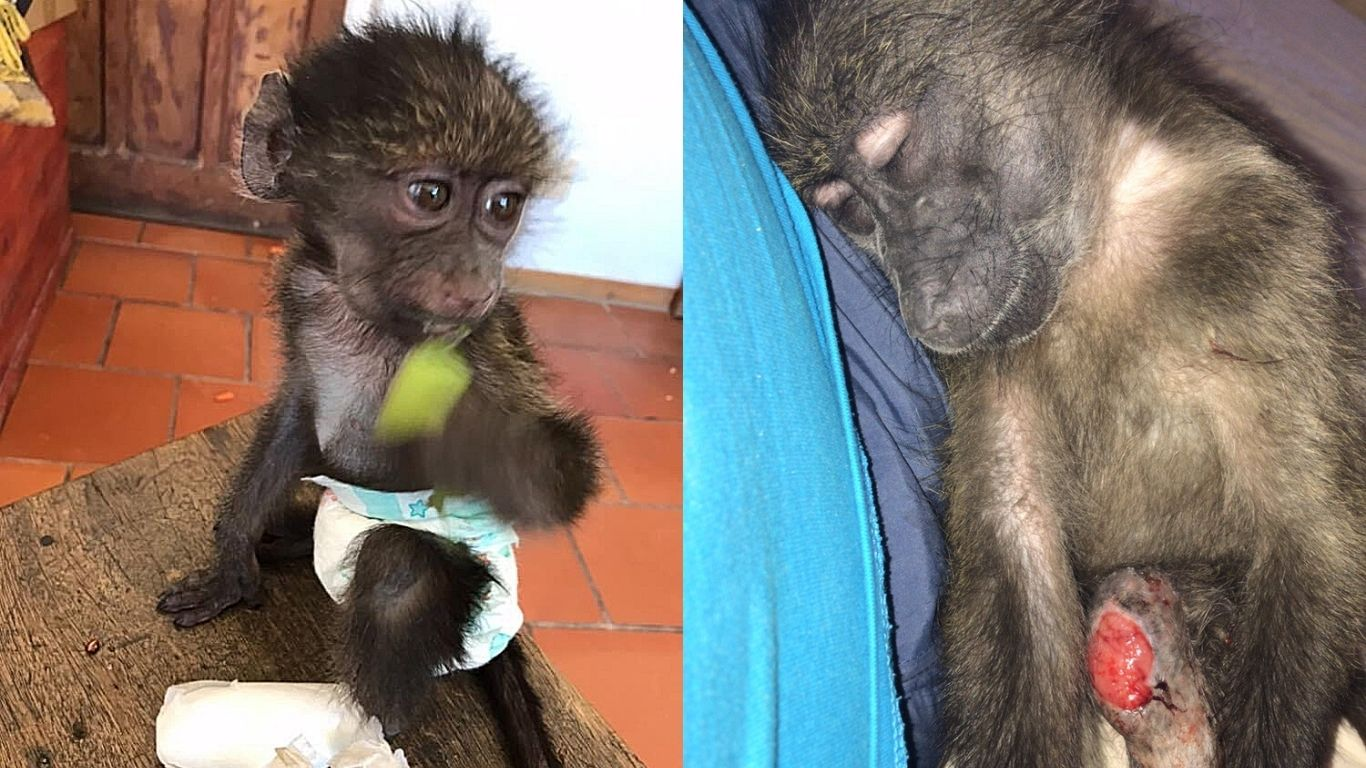Lulu, another baby baboon that was tortured