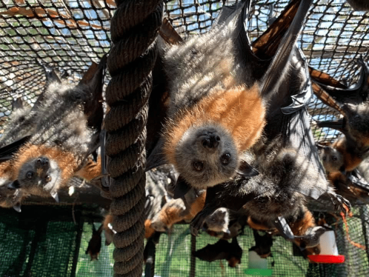 A report back on our Australian campaign to help baby flying foxes orphaned in the terrible bush fires. 1
