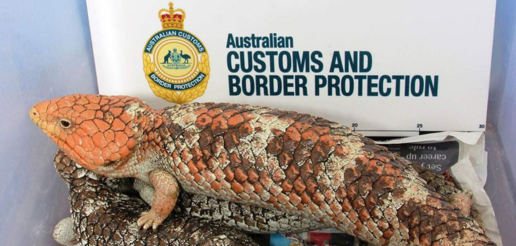 AUSTRALIAN REPTILE SMUGGLING RING BUSTED 3