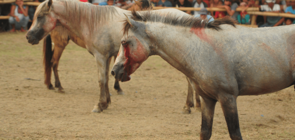 NFA's crusades to shut down Philippines horse fighting rings 2
