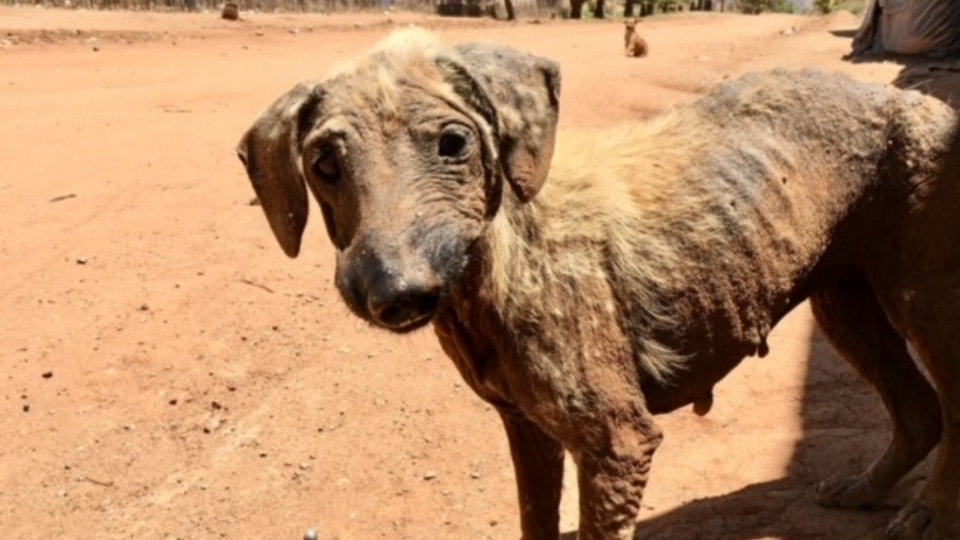 URGENT! Dogs are starving and sick, hidden from tourist eyes. These dogs need your help right NOW! 1