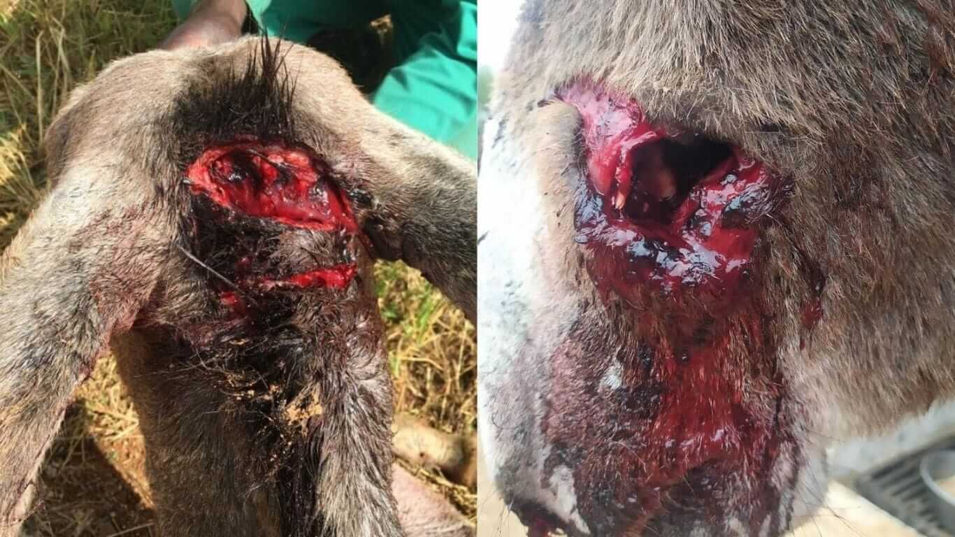 donkey with a head injury, another with a fractured jaw