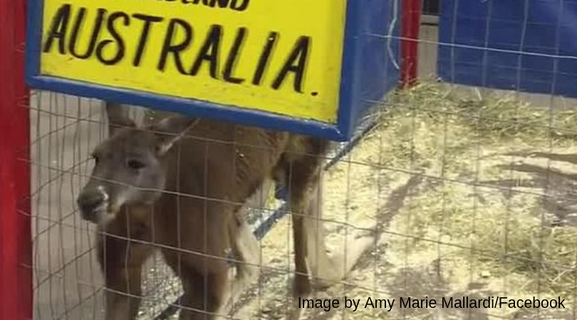 Global outrage over kangaroo locked in tiny cage 3