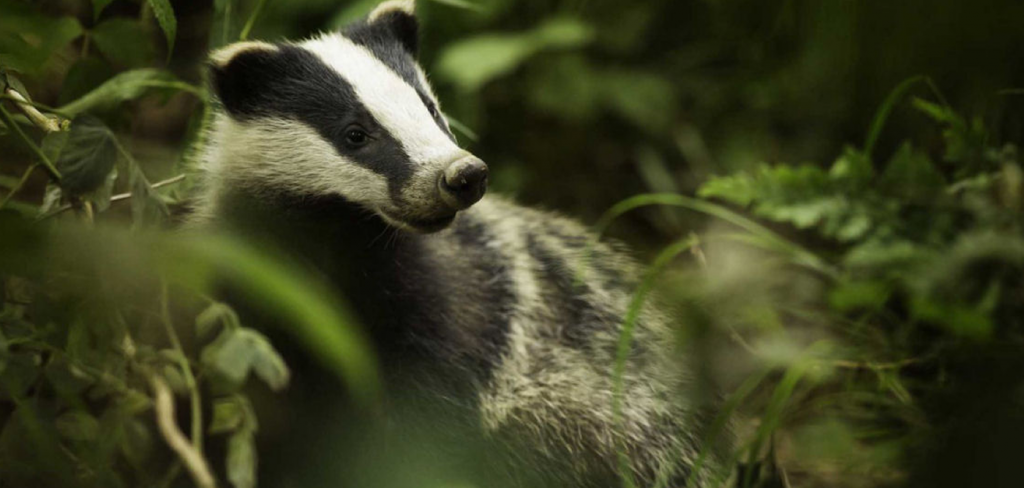Legal challenge to the pointless badger cull 2