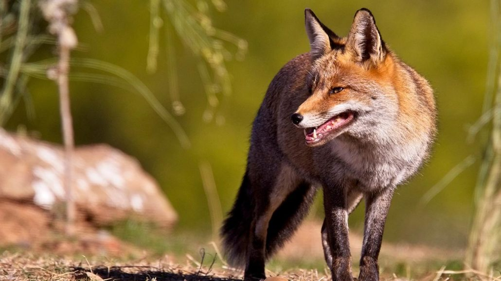 Spanish Government Turns A Blind Eye On Its Shameful Fox Culling System 3