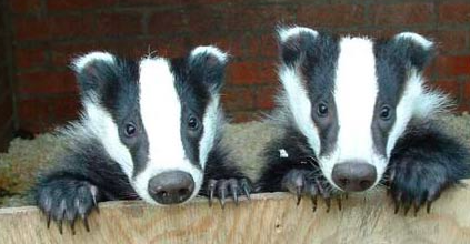 Network For Animals Welcomes Talks On UK Badger Cull 24