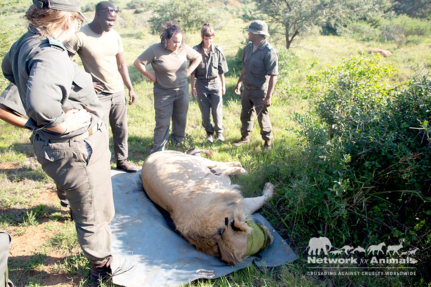 Lion numbers PLUMMET from 200,000 to 20,000! 1