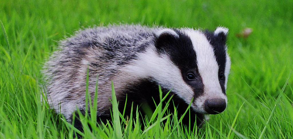 Tories expand cruel and pointless badger cull 1