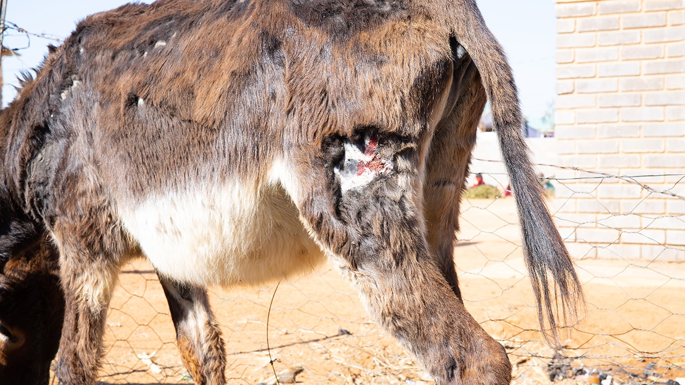 """Frightened, starved, abused… tortured, maimed and left to die - the """"life"""" of a Bela Bela donkey! 3"""
