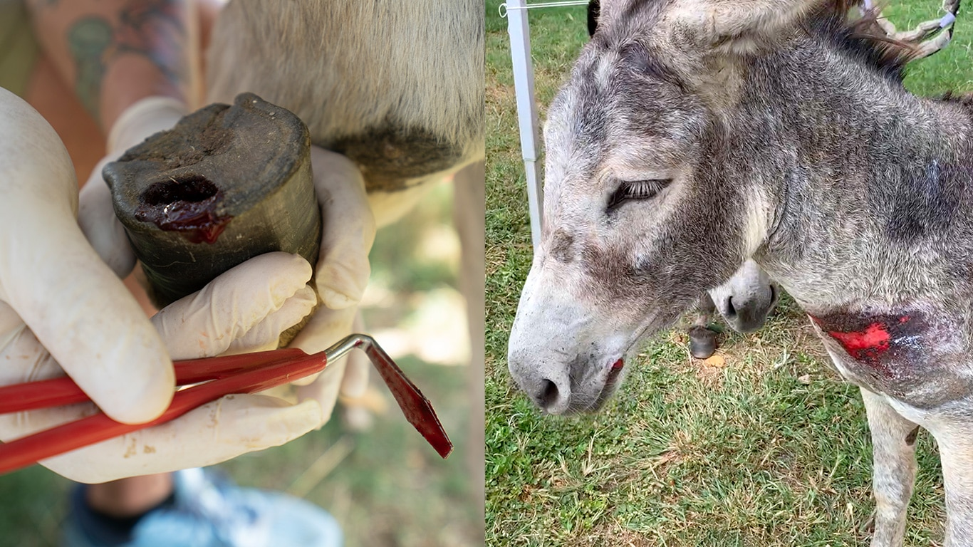 Maimed and emaciated donkeys need your help! 1