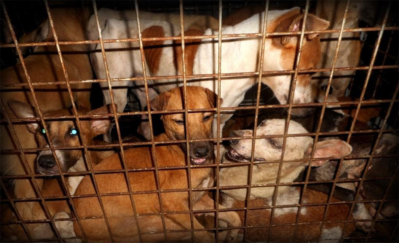 Dogs in distress - Illegal Dog Meat Trade Philippines
