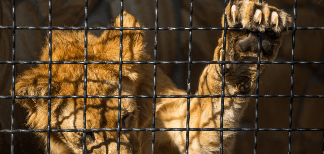 It's time for SA to stop ignoring canned lion hunting 3