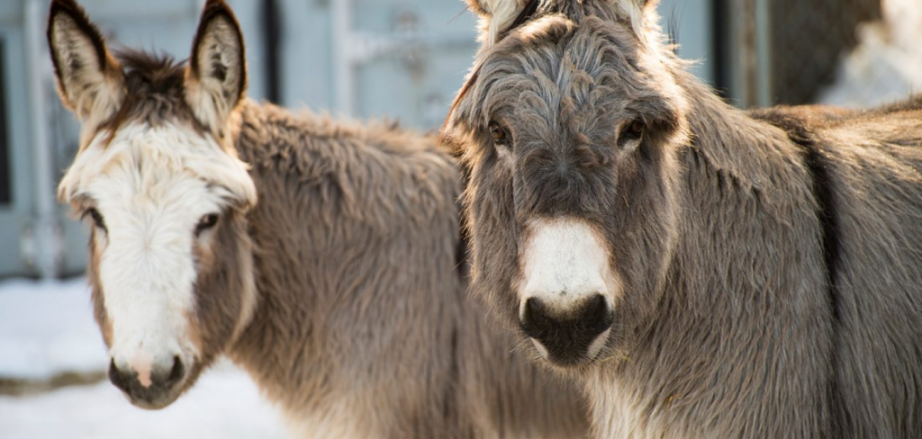 Australia seeks to stop the trade in donkeys before it starts 5