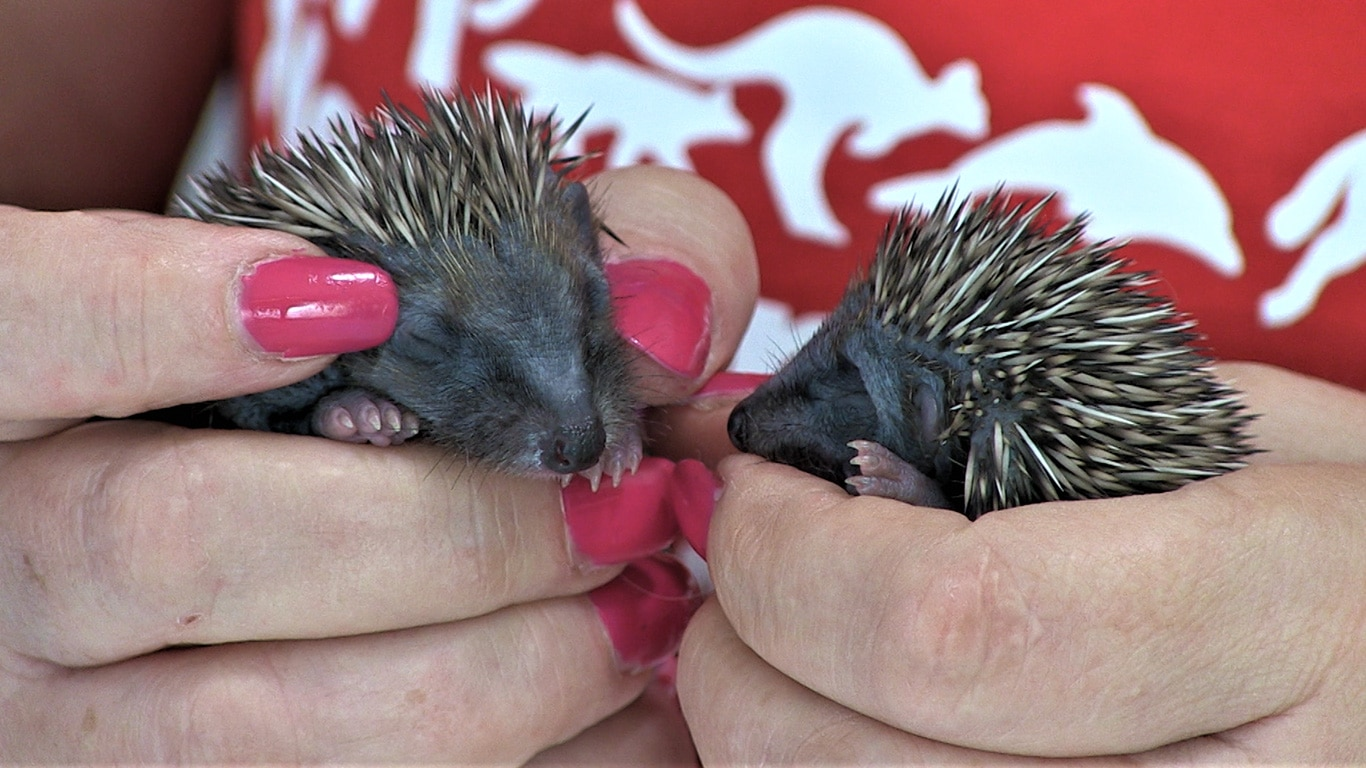 Mowers, pesticides, rapid urbanization and motor vehicles are DECIMATING little hedgehogs in England! 3