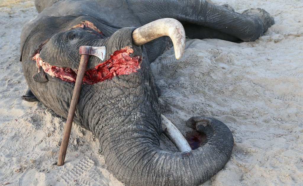 The UK's shame: It is now the biggest exporter of elephant ivory 28