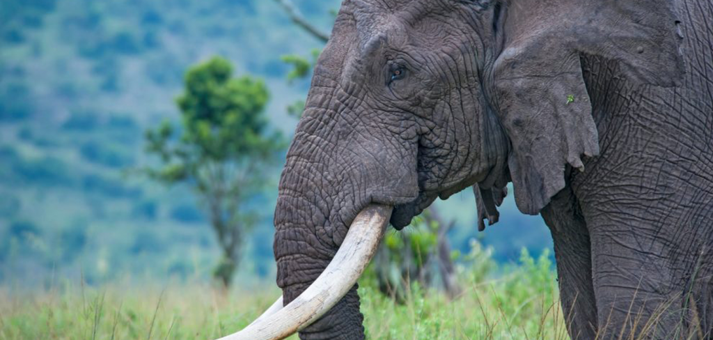 UK plans to ban ivory trade to end 'shame' of elephant poaching 4