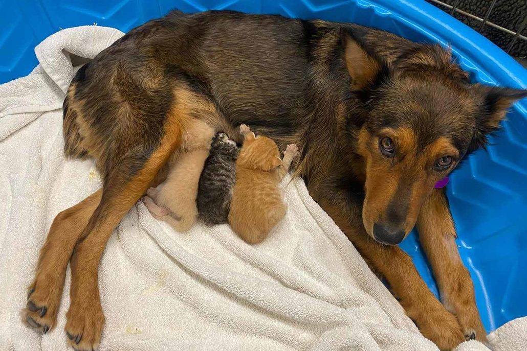 Mamma Dog Adopted A Litter Of Kitties