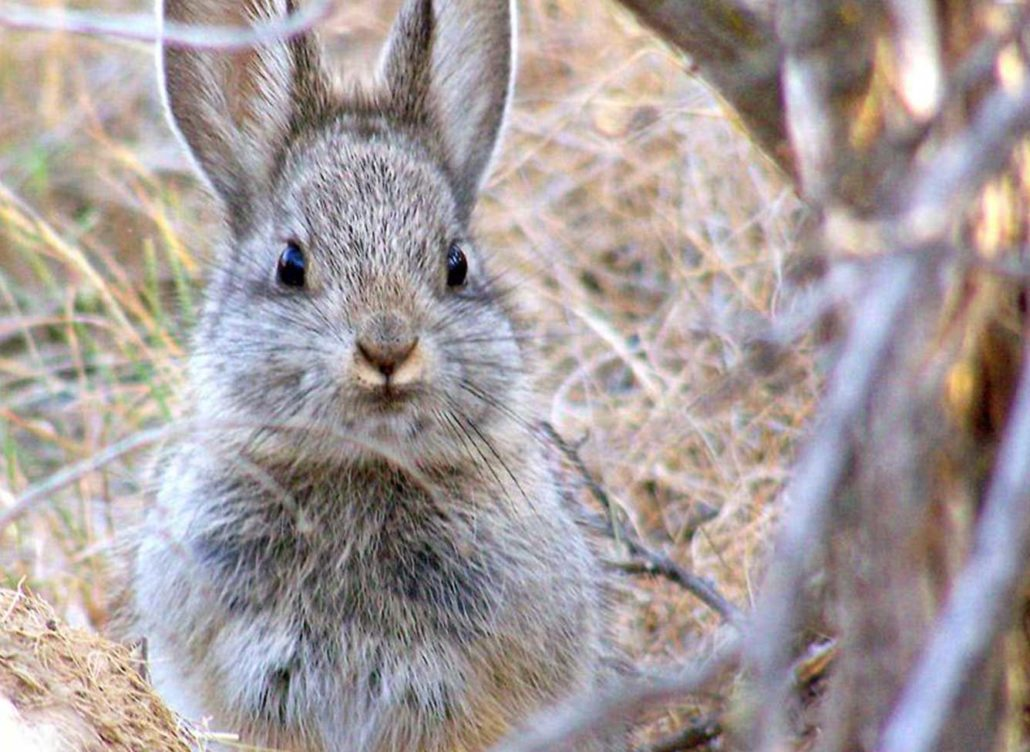 Tiny Pygmy Rabbits Face Extinction As Fires Rage On In The US
