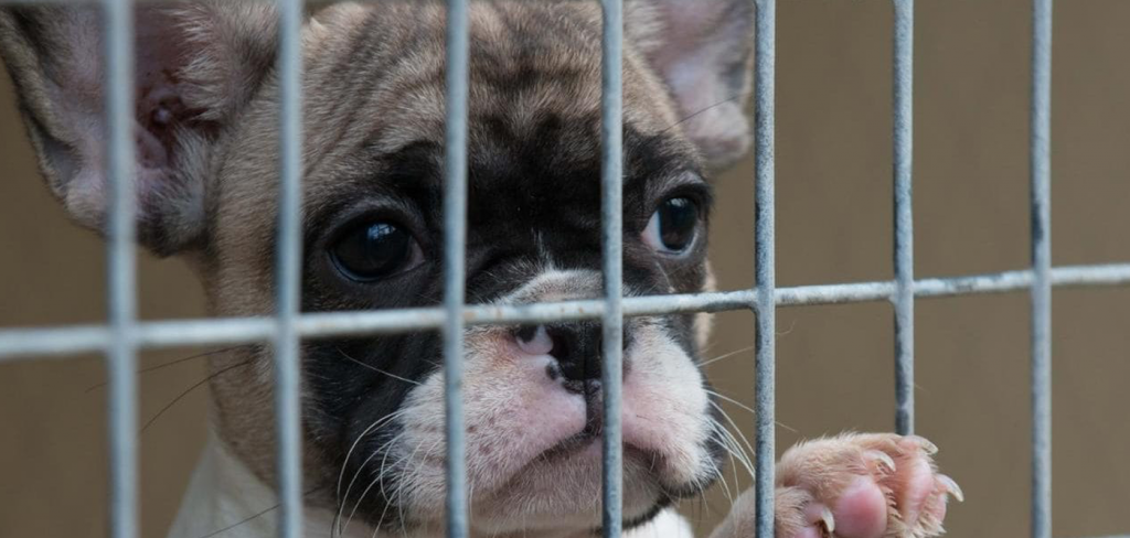Pet shop sales ban could help to end the misery of the illegal puppy trade 3