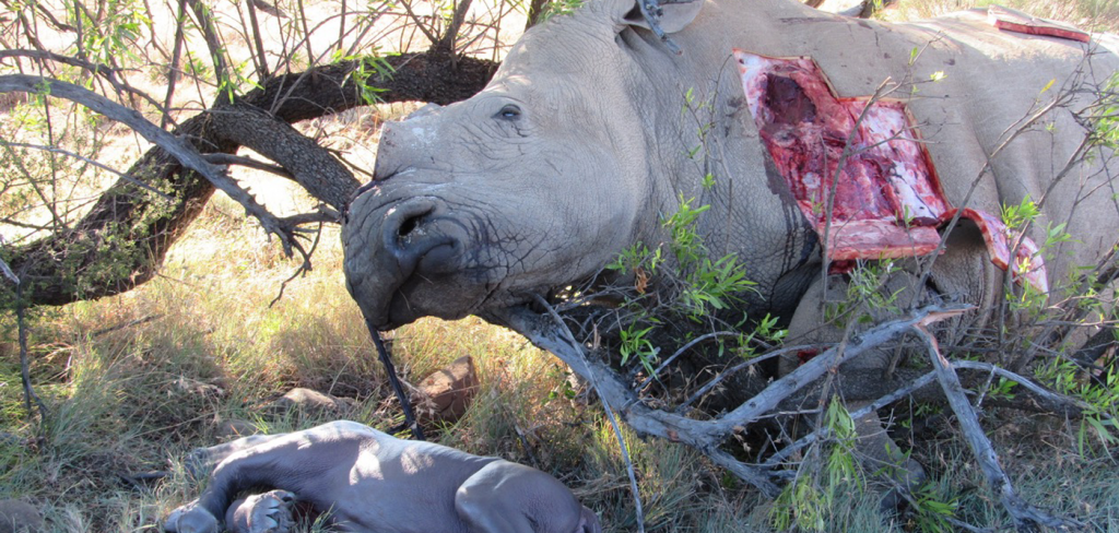 Rhino poachers convicted in South African High Court – finally, justice for a fragile species 2