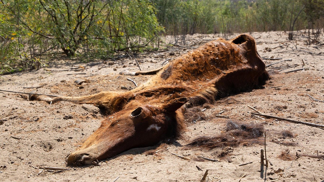 Wild horses forced to swallow packets of cocaine and heroin! 1