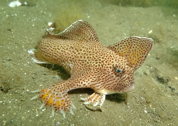 A spotted handfish, relative to the smooth handfish. Credit: John Turnbull/Flickr